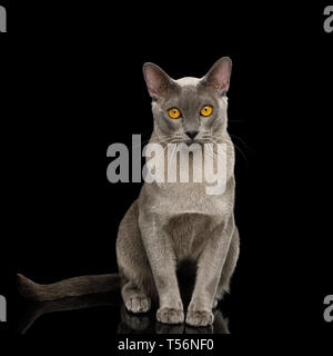 Adorable Cray Burmese Cat Sitting and Gazing on isolated black background, front view - Stock Image