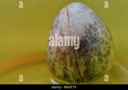 Avocado Stone ready for growing and planting - Stock Image