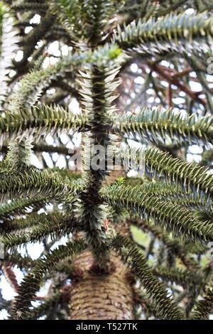 Araucaria araucana - monkey puzzle tree - at the Oregon Garden in Silverton, Oregon, USA. - Stock Image