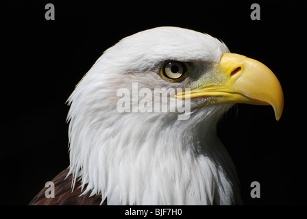 An American Bald Eagle - landscape format - Stock Image
