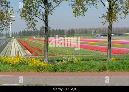 Spring landscape with blossoming tulip fields, mills, bicycle path and highway, Dutch lifestyle - Stock Image