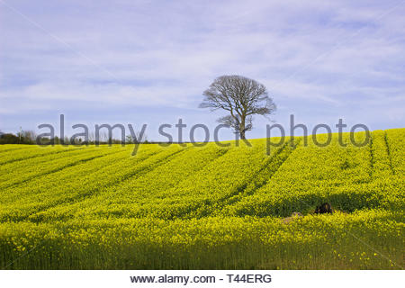 A field of oil seed Rape in full flower in a County Down field. This spectcular crop is a vital food oil source - Stock Image