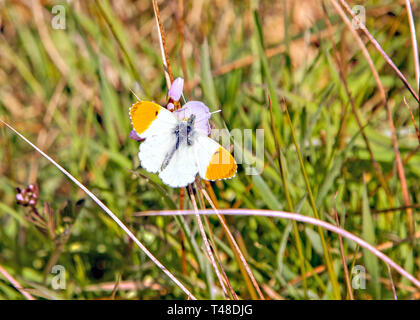Orange tip butterfly Anthocharis cardamines on a ladysmock flower in springtime in the English countryside - Stock Image