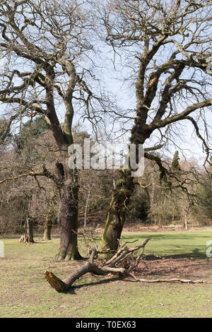 Branch blown from a tree in a storm, Roundhay Park, Leeds, West Yorkshire, England, UK - Stock Image