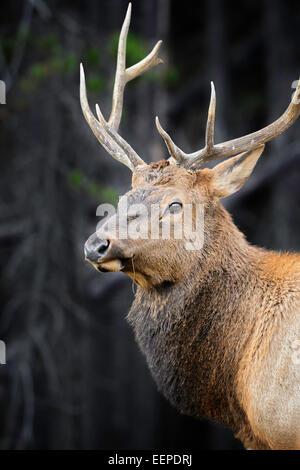 A bull elk in Banff. - Stock Image