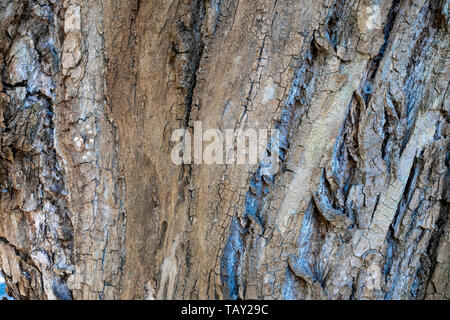 Bark of tree with different colors. The elm (scientific name Ulmus procera) is a large deciduous tree. Its bark is peeled in several layers. - Stock Image