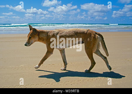 Dingo on beach at Frazer Island Australia - Stock Image