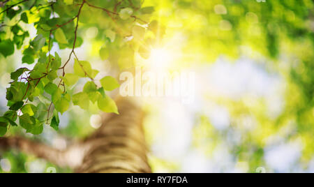 New birch leaves - Stock Image