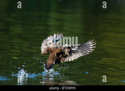 A Mallard duck lands on the lake with wings spread wide - Stock Image