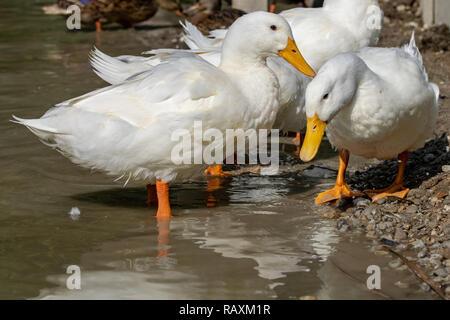 Large white heavy Pekin Aylesbury Ducks in shallow water - Stock Image