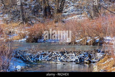 Snow on new Beaver dam & pond in the distance, Castle Rock Colorado US. Cottonwood trees and willows grow in the background. Photo taken in December. - Stock Image