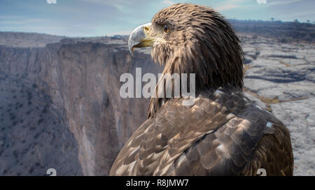 Portrait of a falcon on the plateau of the Jebel Shams, Oman - Stock Image