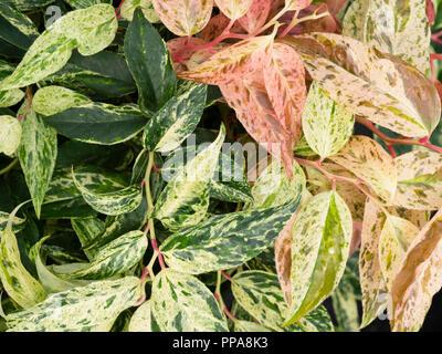 Ornamental pink, cream and green foliage of the hardy evergreen drooping shrub, Leucothoe Fontanesiana 'Rainbow' - Stock Image