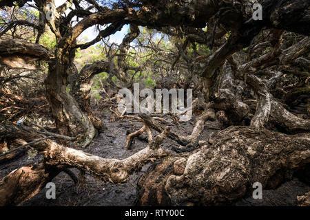Paperbark trees at Goblin Swamp in Greater National Park. - Stock Image