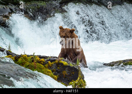Brown Bear hunting for salmon in the river, Brooks river, Katmai National Park, Alaska - Stock Image