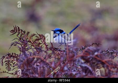 Beautiful blue of superb fairy wren bird in Tasmania - Stock Image