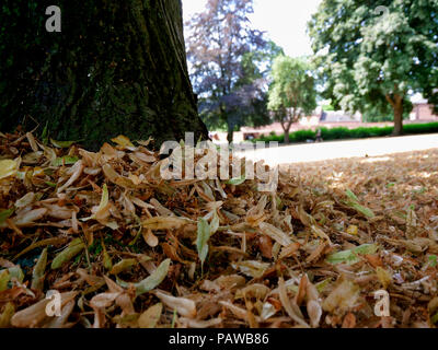 Ashbourne, UK. 25th July 2018. UK Weather: Autumn leaves fall in Ashbourne in July. The unusually hot sunny weather is causing the leaves to dry up & fall to the ground in Ashbourne Park, Derbyshire, making it feel like autumn has come early. Credit: Doug Blane/Alamy Live News - Stock Image