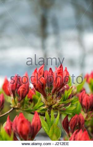 Immature flowers of Azalea Knap-Hill-Hybride 'Gibraltar' - Stock Image