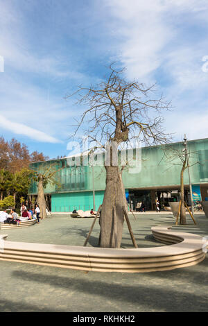 Silk floss tree, Ceiba speciosa in urban setting, park, Port of Malaga, Andalusia, Spain. - Stock Image