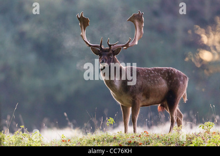 Fallow Deer (Dama dama), Buck at Dawn during the Rut, Royal Deer Park, Klampenborg, Copenhagen, Sjaelland, Denmark - Stock Image