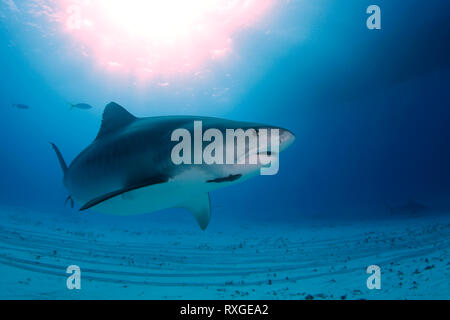 Tiger Shark (Galeocerdo cuvier) Swimming by Closely, with Sun Bursts through the Surface. Tiger Beach, Bahamas - Stock Image