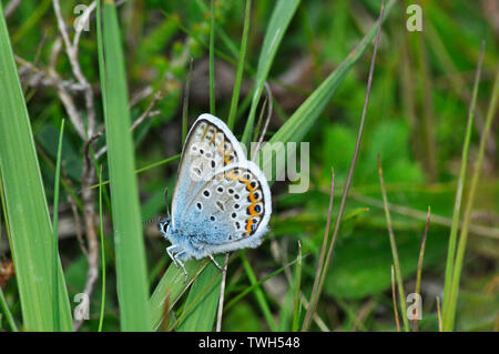 Silver- studded Blue Butterfly,'Plebeius argus',settled on grass in the New Forest, Hampshire. - Stock Image