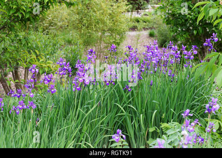 Iris Sibirica growing at RHS Wisley gardens. - Stock Image