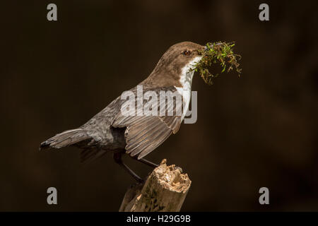 A Dipper (Cinclus cinclus) sitting on a small branch with nest-building material in its beak in spring - Stock Image