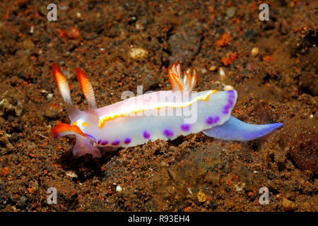 Nudibranch, Thorunna florens. Tulamben, Bali, Indonesia. Bali Sea, Indian Ocean - Stock Image