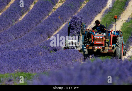 Harvesting lavender in West Sussex England - Stock Image