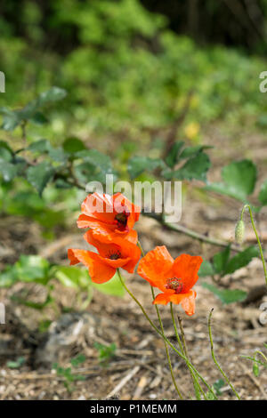 Red poppies in country park - Stock Image