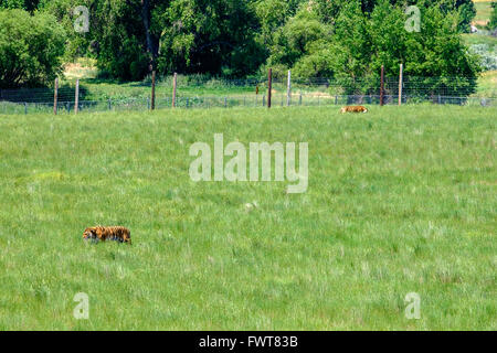 Two tigers  at roam in their enclosure at the Wild Animal Sanctuary in Keenesburg, Colorado. - Stock Image