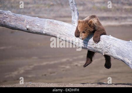 Cute Grizzly Bear Spring Cub, Ursus Arctos, hanging from a branch, Lake Clark National Park, Alaska, USA - Stock Image