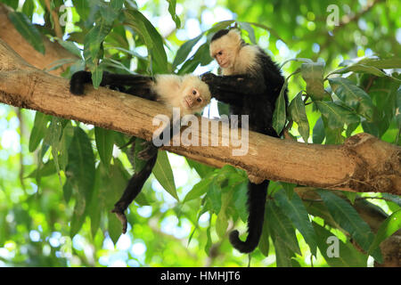 White-faced capuchin monkeys (cebus capucinus) grooming. Palo Verde National Park, Guanacaste, Costa Rica. - Stock Image