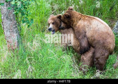 Brown Bear adults mating, Brooks river, Katmai National Park, Alaska - Stock Image