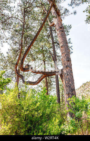 Unique tree shape in forest at Main Loop trail in Bandelier National Monument in New Mexico during summer in Los Alamos - Stock Image