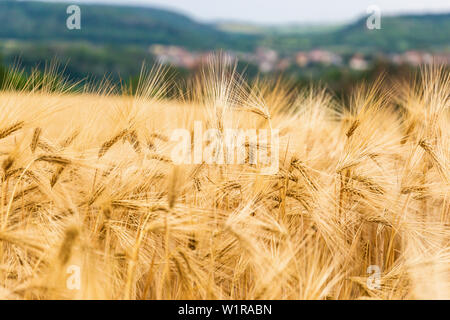 Gold wheat field. Countryside landscape. - Stock Image