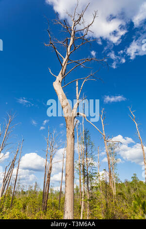 Dead trees from old forest fire stand starkly against a bright blue sky and puffy white clouds in Okefenokee swamp.   New growth in lower  image. - Stock Image