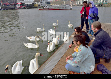 Swans by dock with people watching and feeding in Bristol harbour - Stock Image