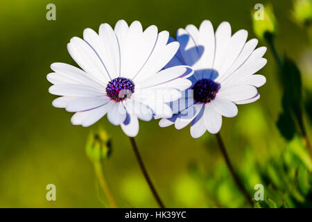 Couple of african daisies blooming on a sunny day, white flowers purple center - Stock Image