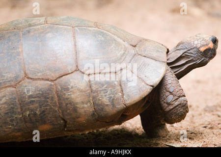 Tortoise in Buenos Aires Zoo - Stock Image