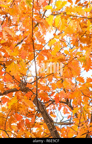 Tree In Autumnal Colors - Stock Image
