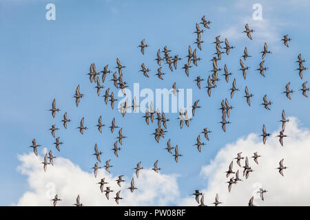 A flock of Black-tailed Godwits, Limosa limosa, in flight against a blue sky with some puffy white clouds. - Stock Image