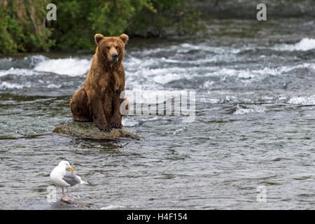 Brown Bear sitting on rock in the river, Brooks river, Katmai National Park, Alaska - Stock Image