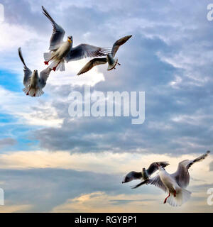 Flying seagulls at sunset - Stock Image