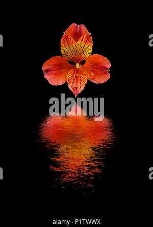 Alstroemeria flower reflected in water - Stock Image