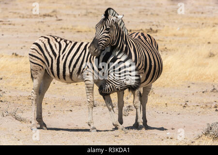 Namibia. A young zebra nudges it's pregnant mother in an act of affection. Etosha National Park. - Stock Image