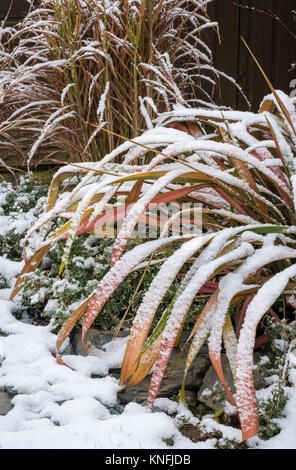 Variegated Phormium Jester Flax plant in snowy winter conditions, with Euonymus Fortunei and Miscanthus Sinensis - Stock Image