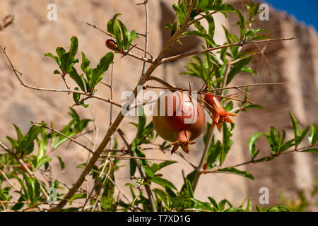Pomegranate (Punica granatum) fruit on tree in the courtyard of the Mission of Nuestra Señora de Loreto Conchó (Mission of Our Lady of Loreto). - Stock Image