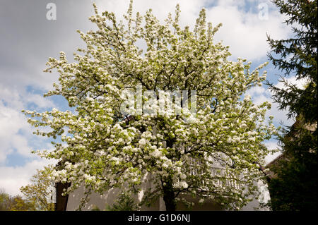 Apple tree white blooming curtain in front of the house, Malus flowering in spring season in Poland, Europe, plenty - Stock Image